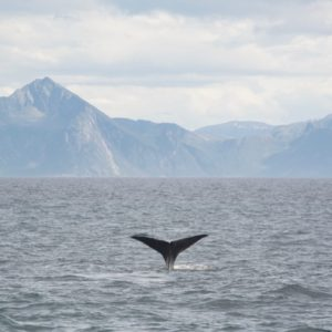 Walvissenstaart Arctic Whale Tours